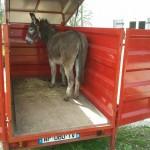 des ânes transportables pour les animations, anniversaires...